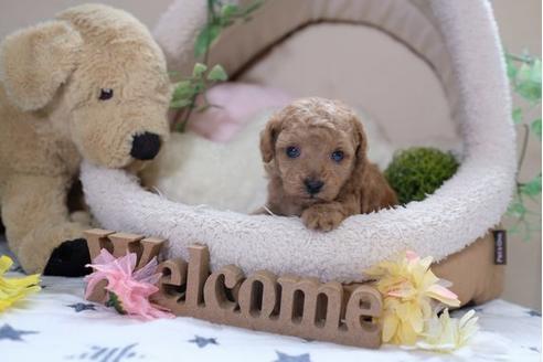 トイプードルの子犬(ID:1242411183)の1枚目の写真/更新日:2015-10-22