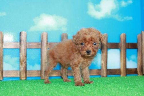 トイプードルの子犬(ID:1242411184)の1枚目の写真/更新日:2015-10-22