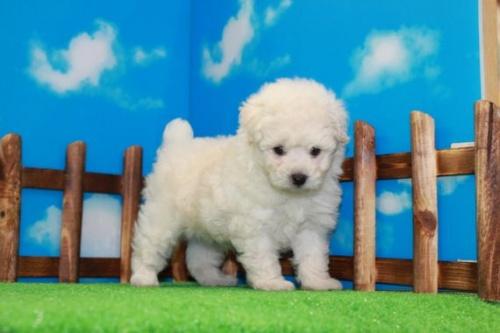 トイプードルの子犬(ID:1242411185)の1枚目の写真/更新日:2015-10-22