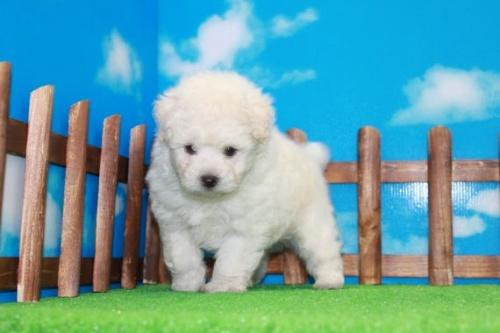 トイプードルの子犬(ID:1242411185)の2枚目の写真/更新日:2015-10-22