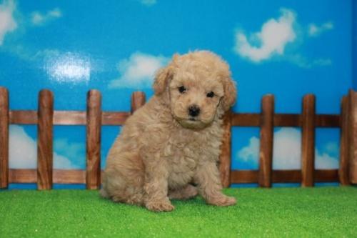 トイプードルの子犬(ID:1242411186)の1枚目の写真/更新日:2015-10-22