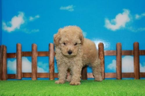 トイプードルの子犬(ID:1242411186)の2枚目の写真/更新日:2015-10-22