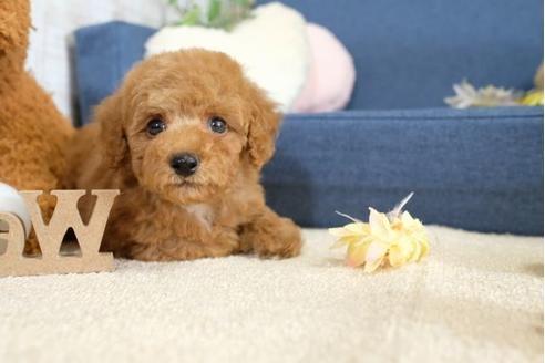 トイプードルの子犬(ID:1242411187)の1枚目の写真/更新日:2015-10-22