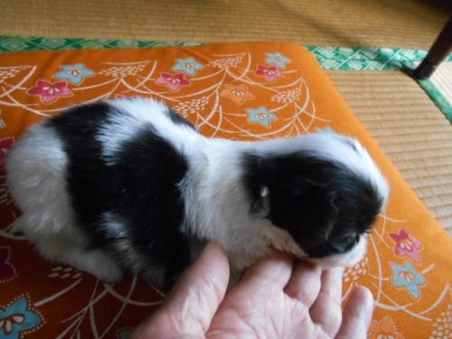 狆(チン)の子犬(ID:1242511021)の3枚目の写真/更新日:2018-01-18