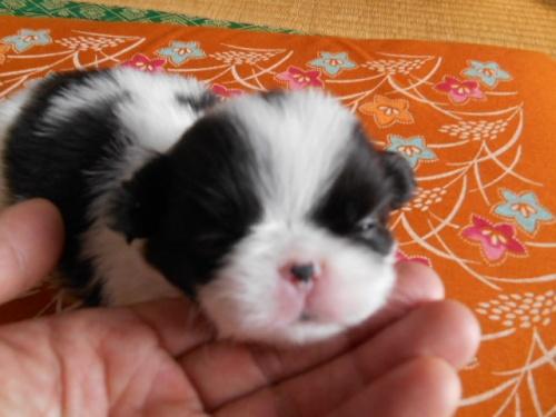 狆(チン)の子犬(ID:1242511021)の4枚目の写真/更新日:2018-01-18