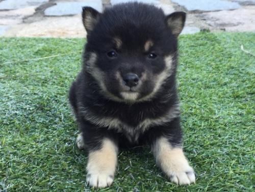 柴犬の子犬(ID:1242711238)の1枚目の写真/更新日:2017-02-09