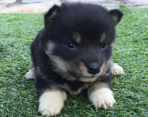柴犬の子犬(ID:1242711239)の1枚目の写真/更新日:2017-02-09