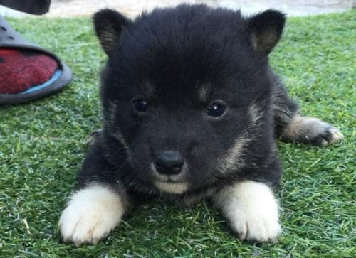 柴犬の子犬(ID:1242711240)の1枚目の写真/更新日:2017-02-09