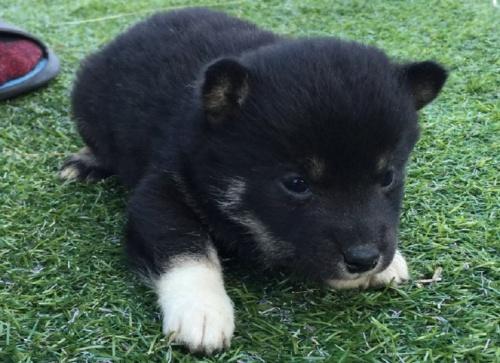 柴犬の子犬(ID:1242711240)の2枚目の写真/更新日:2017-02-09