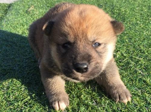 柴犬の子犬(ID:1242711241)の2枚目の写真/更新日:2017-02-09