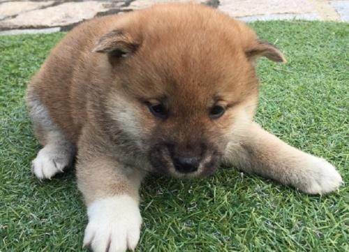 柴犬の子犬(ID:1242711243)の2枚目の写真/更新日:2017-02-09