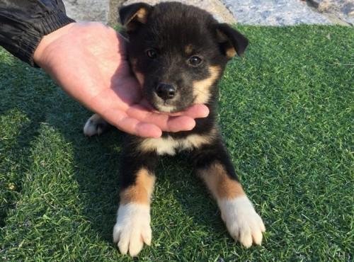 柴犬の子犬(ID:1242711254)の1枚目の写真/更新日:2017-02-13