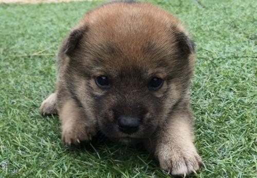 柴犬の子犬(ID:1242711255)の1枚目の写真/更新日:2017-02-13
