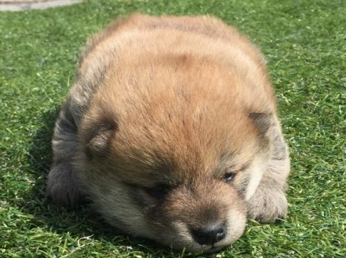 柴犬の子犬(ID:1242711260)の1枚目の写真/更新日:2017-03-12
