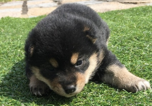 柴犬の子犬(ID:1242711261)の1枚目の写真/更新日:2017-03-12
