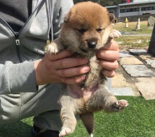 柴犬の子犬(ID:1242711262)の2枚目の写真/更新日:2017-03-12