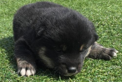 柴犬の子犬(ID:1242711263)の1枚目の写真/更新日:2017-03-12
