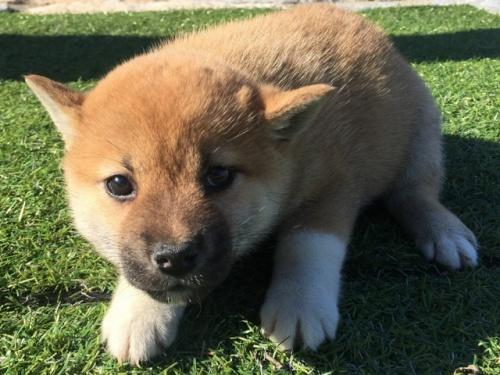 柴犬の子犬(ID:1242711267)の1枚目の写真/更新日:2017-05-06
