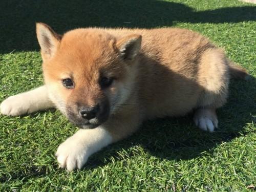 柴犬の子犬(ID:1242711267)の2枚目の写真/更新日:2017-07-17