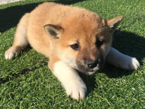 柴犬の子犬(ID:1242711267)の3枚目の写真/更新日:2017-07-17