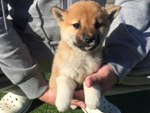 柴犬の子犬(ID:1242711267)の4枚目の写真/更新日:2017-07-17