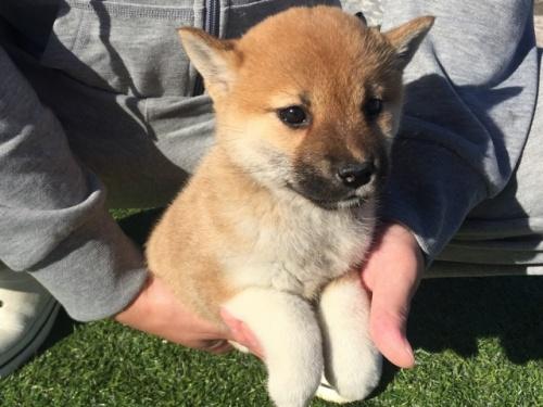柴犬の子犬(ID:1242711267)の5枚目の写真/更新日:2017-07-17
