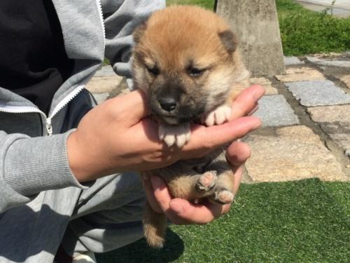 柴犬の子犬(ID:1242711268)の2枚目の写真/更新日:2017-05-06