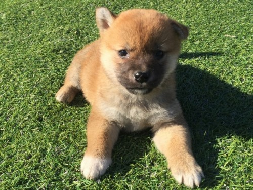 柴犬の子犬(ID:1242711269)の1枚目の写真/更新日:2017-05-11