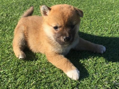 柴犬の子犬(ID:1242711269)の2枚目の写真/更新日:2017-05-11