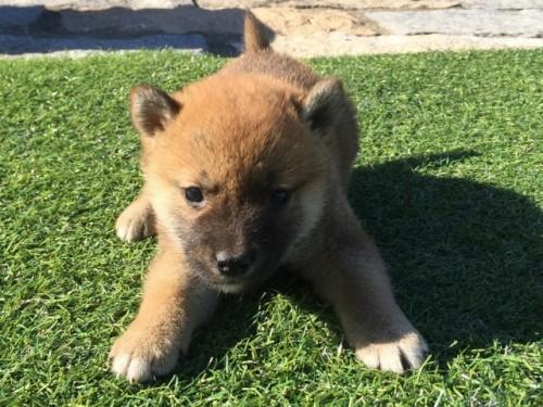 柴犬の子犬(ID:1242711270)の1枚目の写真/更新日:2017-05-11