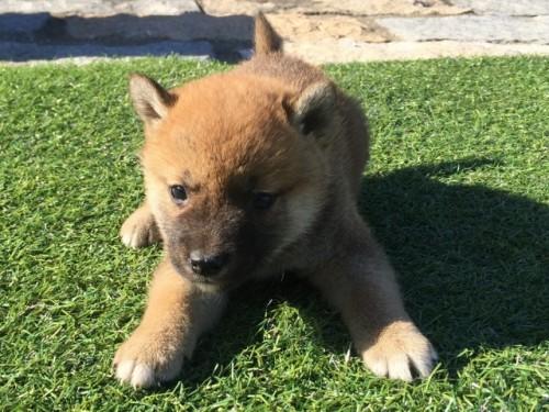 柴犬の子犬(ID:1242711270)の2枚目の写真/更新日:2017-05-11