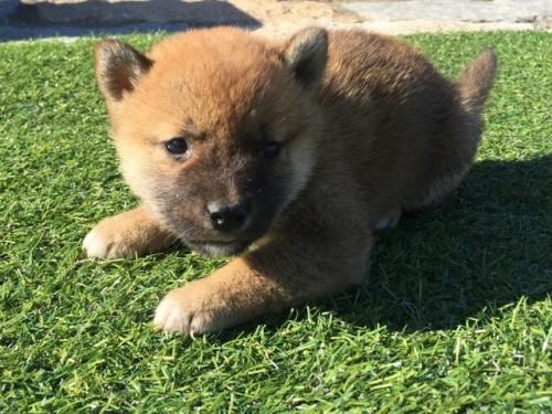 柴犬の子犬(ID:1242711270)の3枚目の写真/更新日:2017-05-11