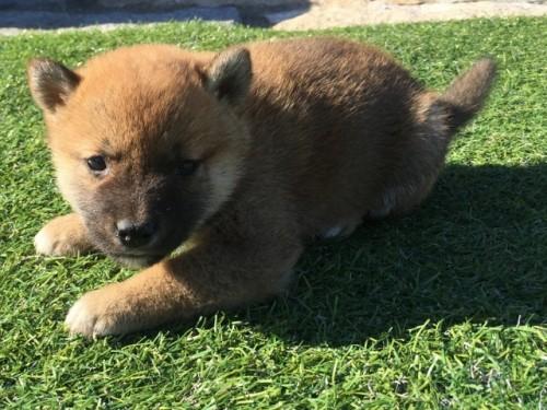 柴犬の子犬(ID:1242711270)の4枚目の写真/更新日:2017-07-17