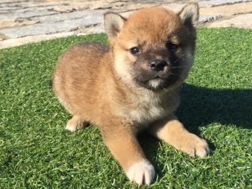 柴犬の子犬(ID:1242711271)の1枚目の写真/更新日:2017-07-17