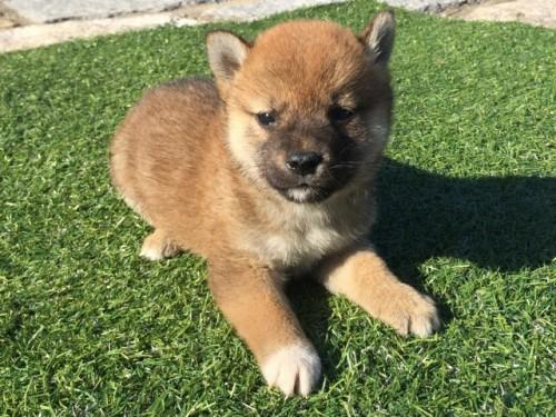 柴犬の子犬(ID:1242711271)の2枚目の写真/更新日:2017-07-17