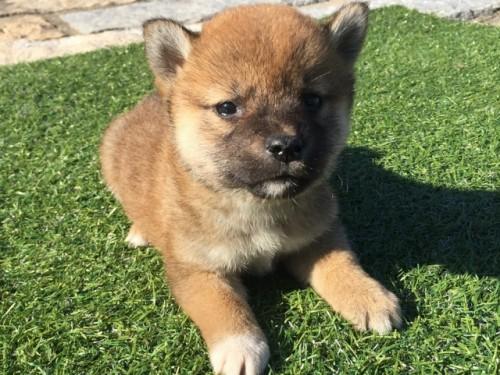 柴犬の子犬(ID:1242711271)の3枚目の写真/更新日:2017-07-17