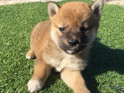 柴犬の子犬(ID:1242711271)の4枚目の写真/更新日:2017-07-17