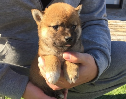 柴犬の子犬(ID:1242711271)の5枚目の写真/更新日:2017-07-17