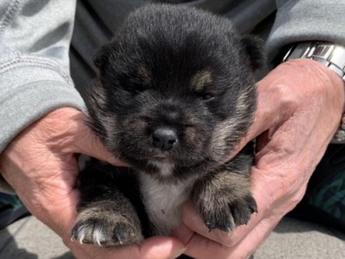 柴犬の子犬(ID:1242711274)の1枚目の写真/更新日:2017-07-17