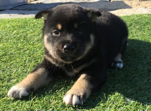 柴犬の子犬(ID:1242711277)の4枚目の写真/更新日:2017-07-17