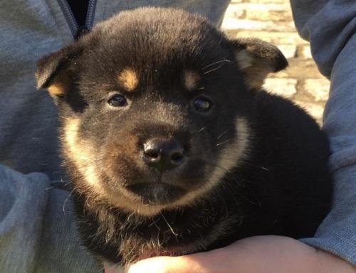 柴犬の子犬(ID:1242711277)の5枚目の写真/更新日:2017-07-17