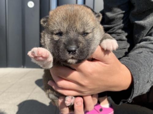柴犬の子犬(ID:1242711282)の3枚目の写真/更新日:2021-07-22
