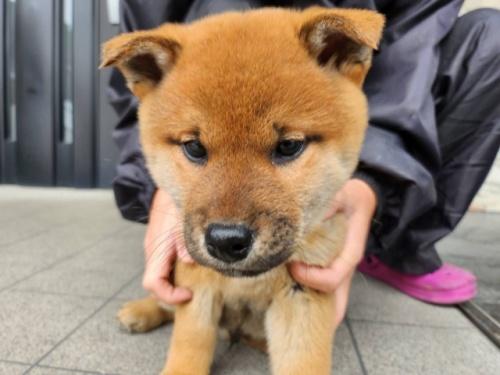 柴犬の子犬(ID:1242711284)の1枚目の写真/更新日:2017-07-11