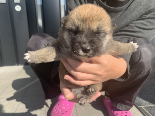 柴犬の子犬(ID:1242711284)の2枚目の写真/更新日:2017-07-11