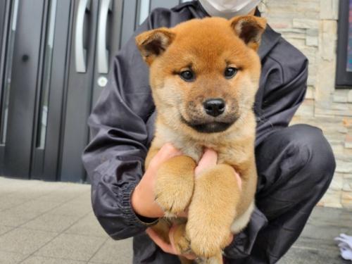 柴犬の子犬(ID:1242711284)の3枚目の写真/更新日:2018-07-24