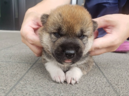 柴犬の子犬(ID:1242711288)の1枚目の写真/更新日:2018-06-18