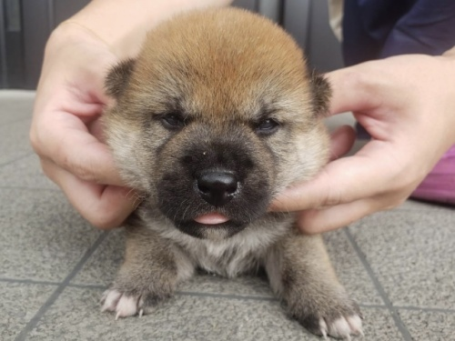柴犬の子犬(ID:1242711291)の1枚目の写真/更新日:2021-06-01