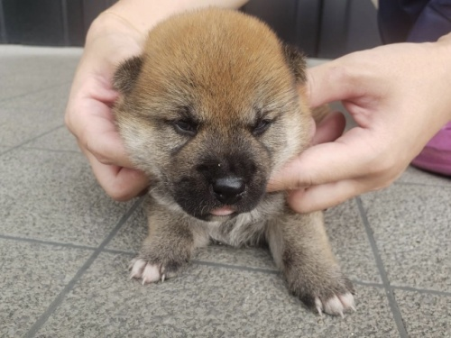 柴犬の子犬(ID:1242711291)の3枚目の写真/更新日:2021-06-01