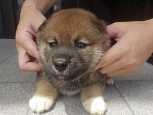 柴犬の子犬(ID:1242711296)の1枚目の写真/更新日:2017-09-11