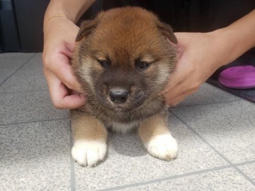 柴犬の子犬(ID:1242711296)の3枚目の写真/更新日:2017-09-11